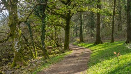 old english: A woodland path amongst a old english woodland