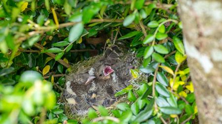 nest box full of Blue Tit chicks