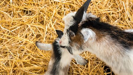 pygmy goat: Two Pygmy Goats togeather on a bed of hey
