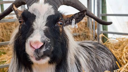 pygmy goat: black and white Pygmy Goat chewing hey
