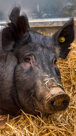 Very large pig on hay and straw at pig show