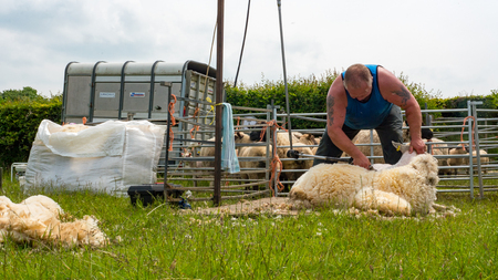 sheep shearing being carried out by a local farmer in a field Stock Photo
