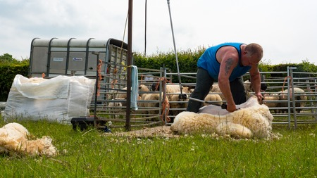 shearer: sheep shearing being carried out by a local farmer in a field Stock Photo