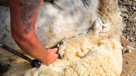 clippers: Farmer shearing white fleece off sheep with clippers