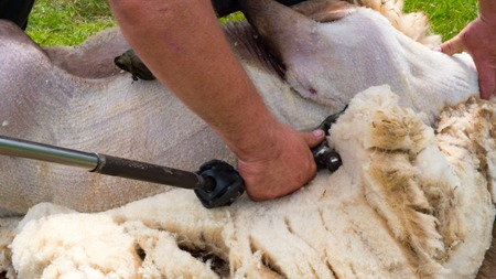 shearer: Farmer sheep shearing a white fleece with clippers Stock Photo