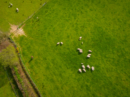 grass field aerial. Herd Of Sheep In Green Field Aerial Photo Grass
