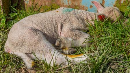 baby lamb lying in grass