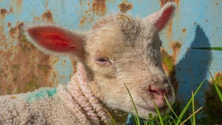 baby lamb lying in grass