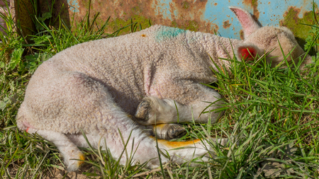 bleating: baby lamb lying in grass