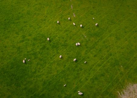 Herd Of Sheep Aerial view