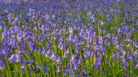 Bluebell flowers in green medow Stock Photo