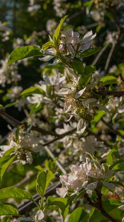 Apfelblüten blühen im Sommer Standard-Bild - 80466216