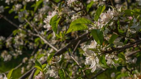 Apfelblüten blühen im Sommer Standard-Bild - 80466127