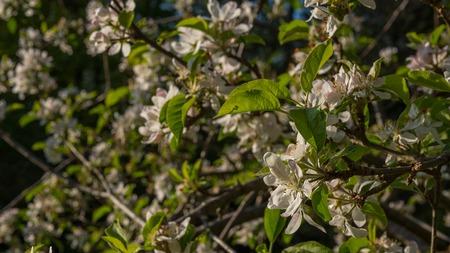 Apfelblüten blühen im Sommer Standard-Bild - 80466608