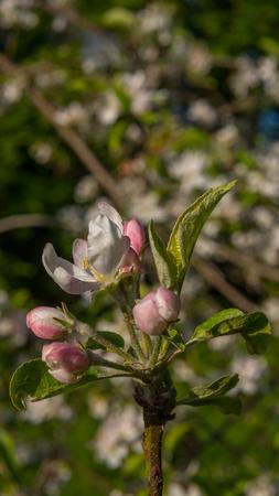 Apfelblüten blühen im Sommer Standard-Bild - 80466609