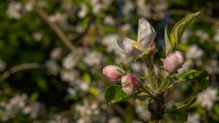 Apfelblüten blühen im Sommer Standard-Bild - 80466132