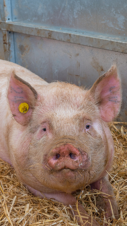 Young pig on hay and straw at pig show Stock Photo