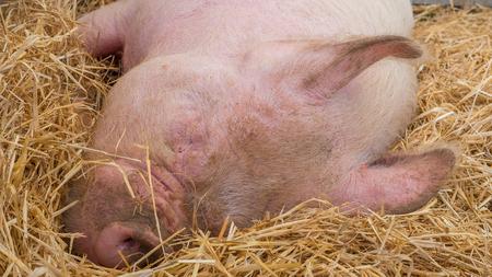 Junges Schwein auf Heu und Stroh an Schwein zeigen Standard-Bild - 80388370