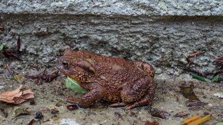 Brown Toad genießt die nasse Standard-Bild - 81774786