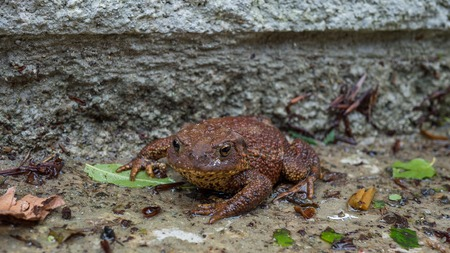 common hop: Brown Toad enjoying the wet Stock Photo