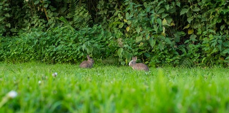 Pair of two baby rabbits eating grass