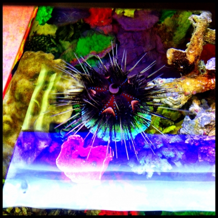 Amazing psychedelic colors of this big sea urchin  Imagens