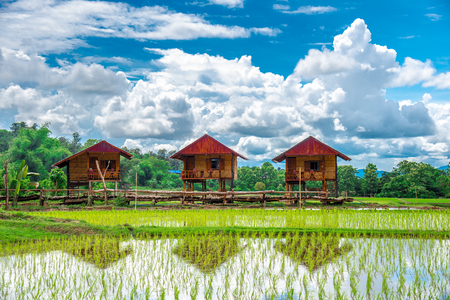 Three farming huts and a view of rice field. An image of homestay at the rice field. Beautiful view of the rice paddy with the bright blue sky background in Nan, Thailand.