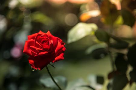 Valentine romantische rood nam op de tuinachtergrond toe. Schoonheid van februari romantiek behang.