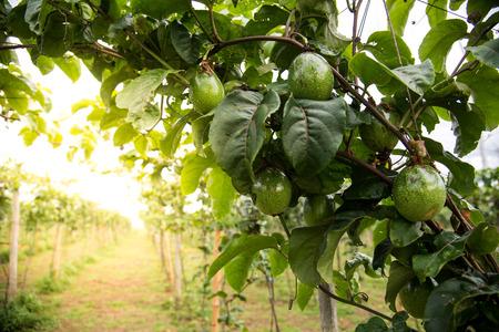 Piantagione di avocado biologico sulla montagna in Thailandia con sfondo bagliore d & # 39 ; oro . Organico e sano concezione Archivio Fotografico - 84996550