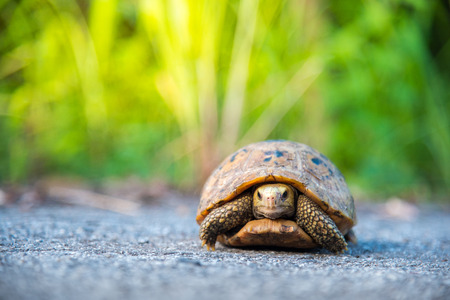 Turtle walking on tarmac rural road in Thailand. Elongated turtoise and grass bokeh background Stock Photo