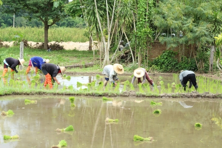 Farmer planting on the farmland,Chiengmai Thailand