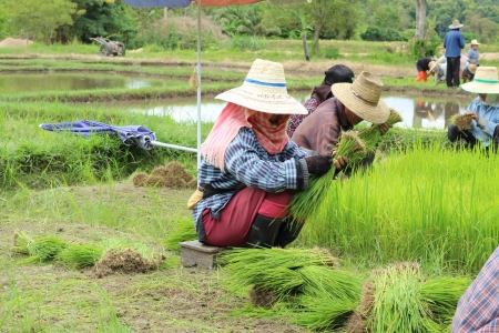 Thai farming,Chiengmai Thailand Stock Photo