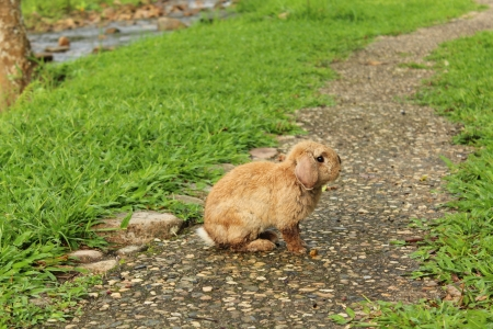 Brown rabbit on the pathway
