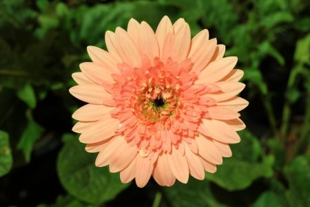 gebera: Pink gebera flower