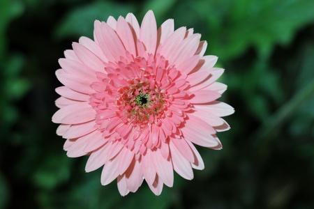 gebera: Pink gebera with water drop Stock Photo