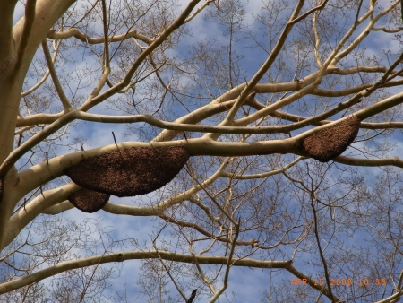 Honeycombs on tree photo
