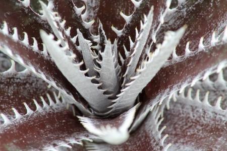 dyckia: Dyckia or  Bromeliaceae closeup