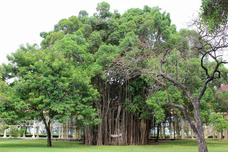 The roots of a large banyan tree in the garden. Banco de Imagens