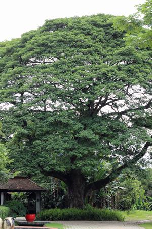 Big beautiful tree in hotel garden, Chiangmai, Thailand. photo