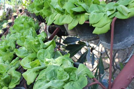 butter head: Hydroponic vegetable: Butter head lettuce in plastic flowerpot