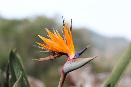 bloom bird of paradise: Closeup of Strelitzia reginae or Bird of Paradise flower in the garden.