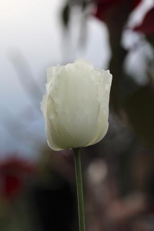 opiate: White opium flower in rural field. Stock Photo