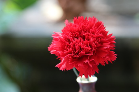 red  carnation: Red carnation flowers in ceramic vase. Stock Photo