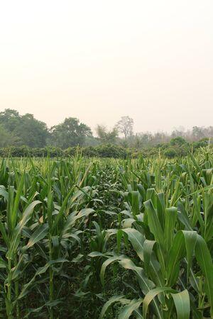 corn flower: Corn flower  in the farm.