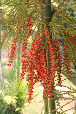 Red fruit of ornamental palm. photo