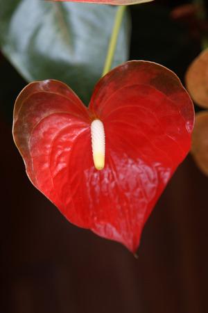 Opinión del primer de la flor roja espádice. Foto de archivo - 51603058