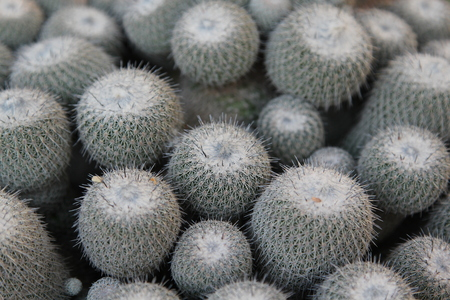 A cluster of cactus with thousands of spines.