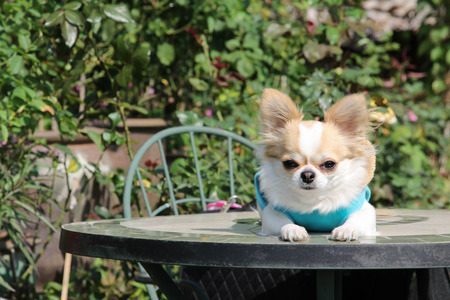 Female Chihuahua dog sitting on the table in the garden. Stock Photo