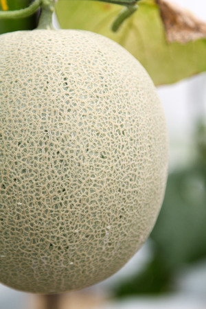 Fresh Melon or Cantaloupe fruit on tree in farm.