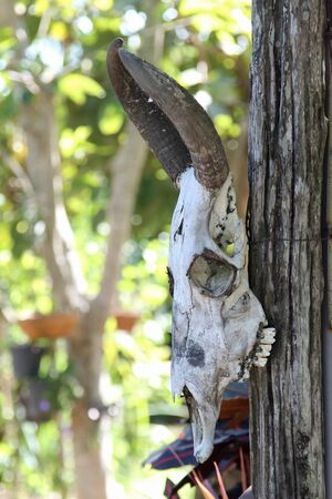 Old buffalo skull hanging on the wooden pole. Stock Photo